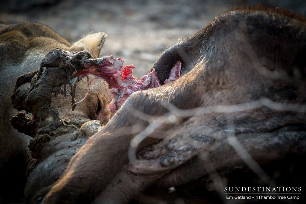Ross Breakaway lioness feasting away on her buffalo kill