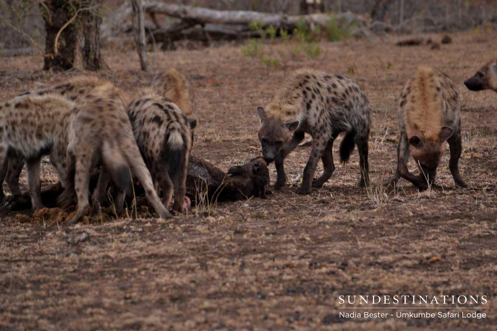 Carnivore Feast in the Sabi Sand