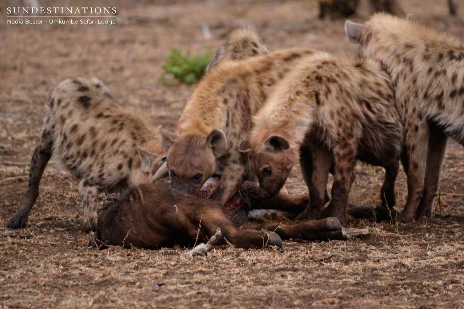 Food Hyenas Eat
