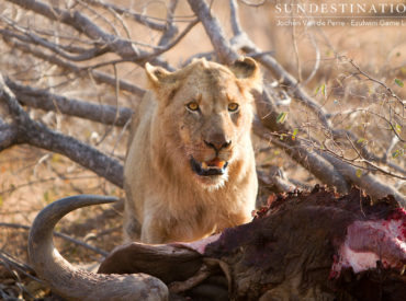 We'll never tire of hearing about the intricate web of the Balule's lion pride dynamics. Recently we've heard about the young Mohlabetsi male coalition adopting the dominant role within three prides (Mohlabetsi, River and Impalabos prides) and patrolling a wide range within the Balule traverse. These rugged boys have conducted kills, mated with available females […]