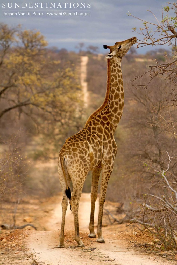 A giraffe occupies the roadway as it pauses to pluck the last green leaves from a bare tree