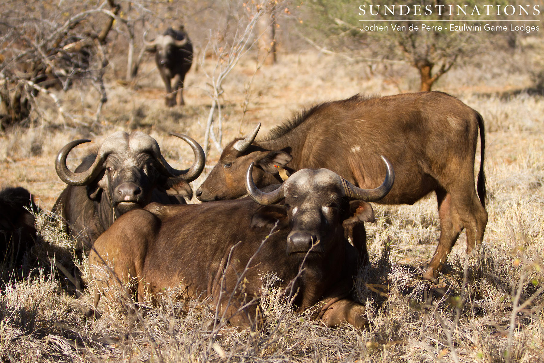 Buffalo in Balule Lying Down