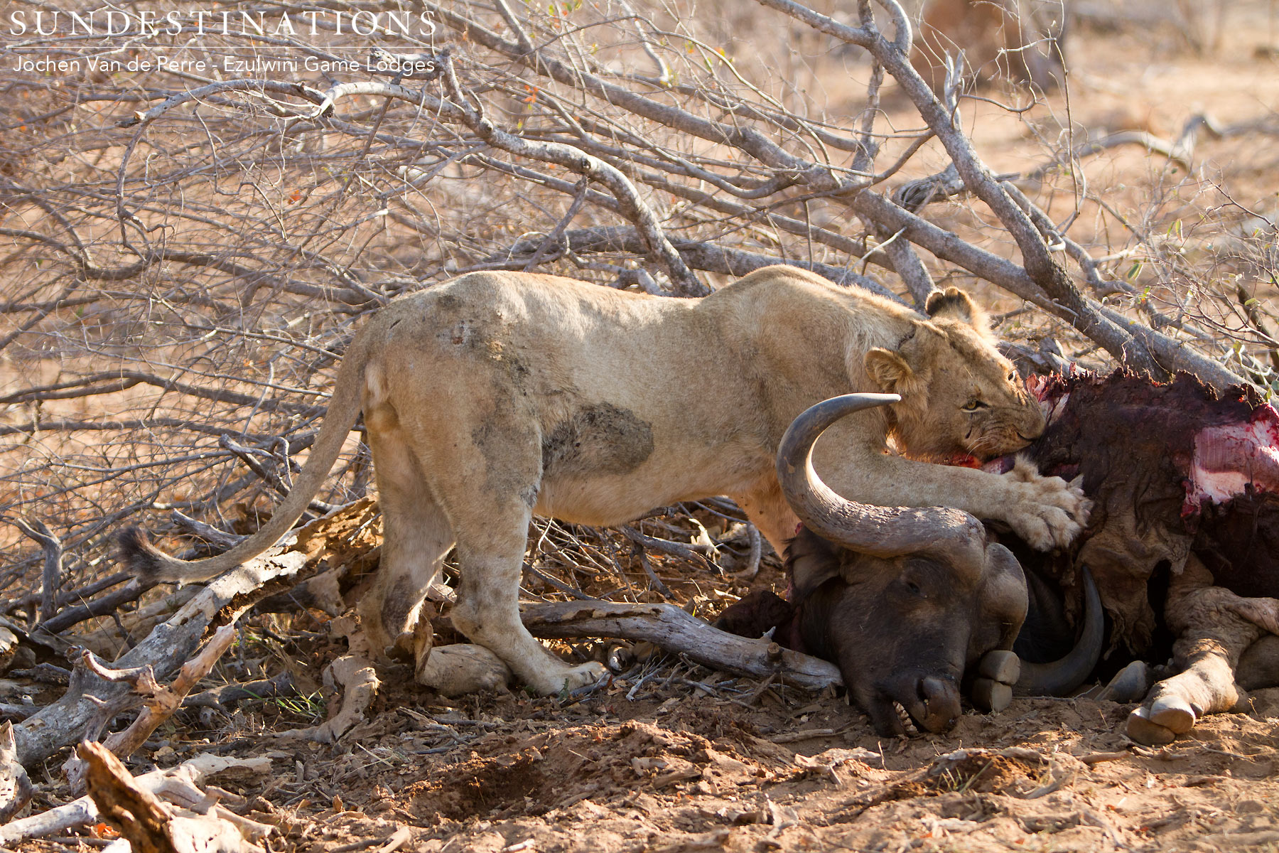 Young Lions from Mohlabetsi Pride on Buffalo Kill