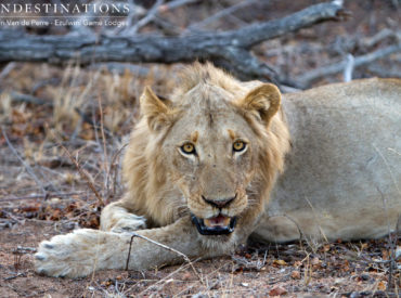 The splintered prides, the coalitions and the lone rangers of the lion world all lead colourfully intertwined lives. Whether it be a showdown betweentestosteronefuelled sub-adults fighting for dominance or the consistent mating with females from various prides; one thing is for certain, the lion sightings and dynamics in the Balule are never dull. About two […]