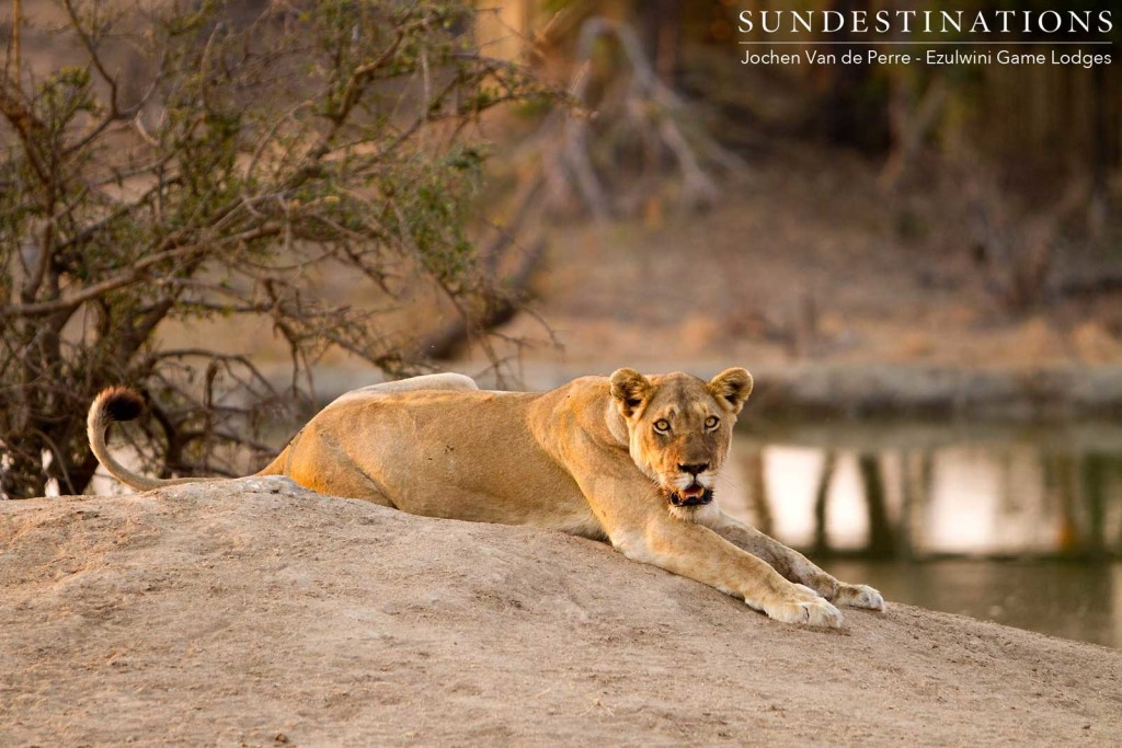 A lioness stretches out to rest her full belly after following her meal of buffalo with a deep drink of water at a dam on the traverse. The image of beauty.