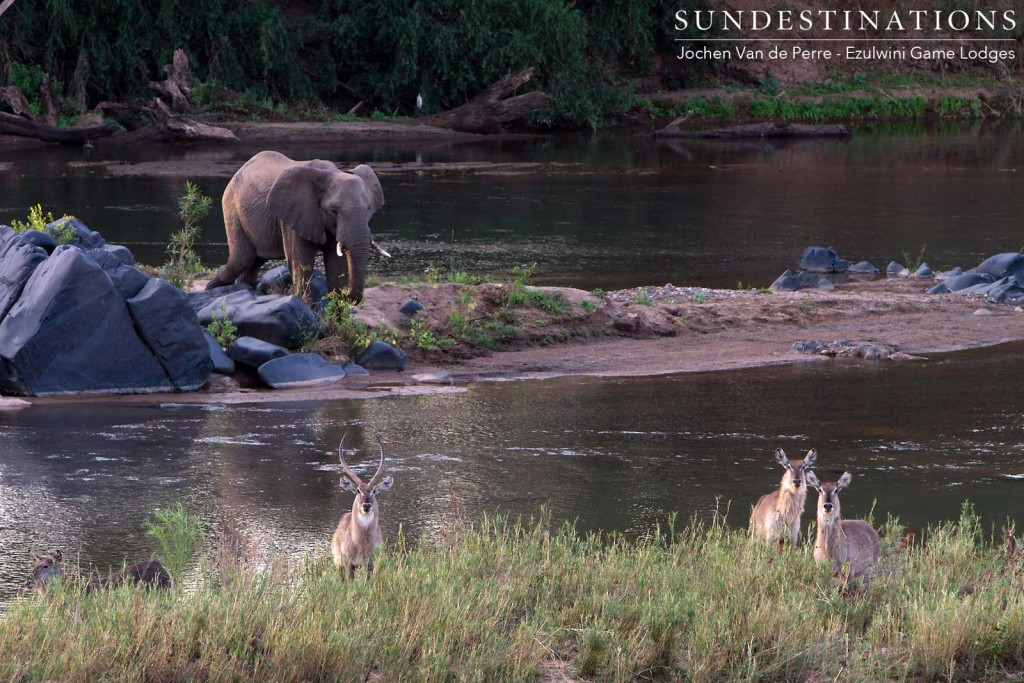 An Olifants River congregation: elephants and waterbuck amble along its banks, enjoying the abundant water and reed beds providing both food and water for these herbivorous beauties