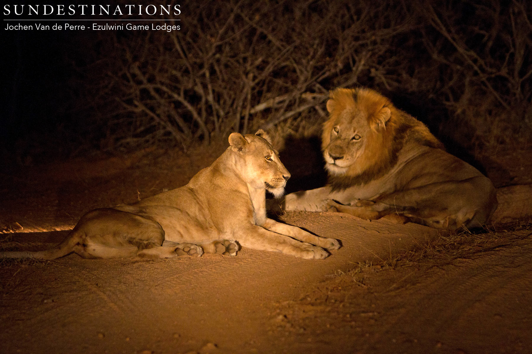 Duma Lioness & Coalition Male