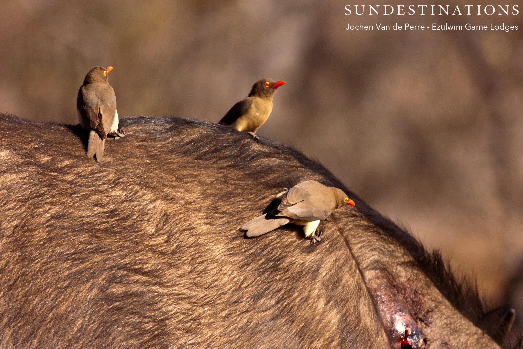 Flock of Oxpeckers on Buffalo