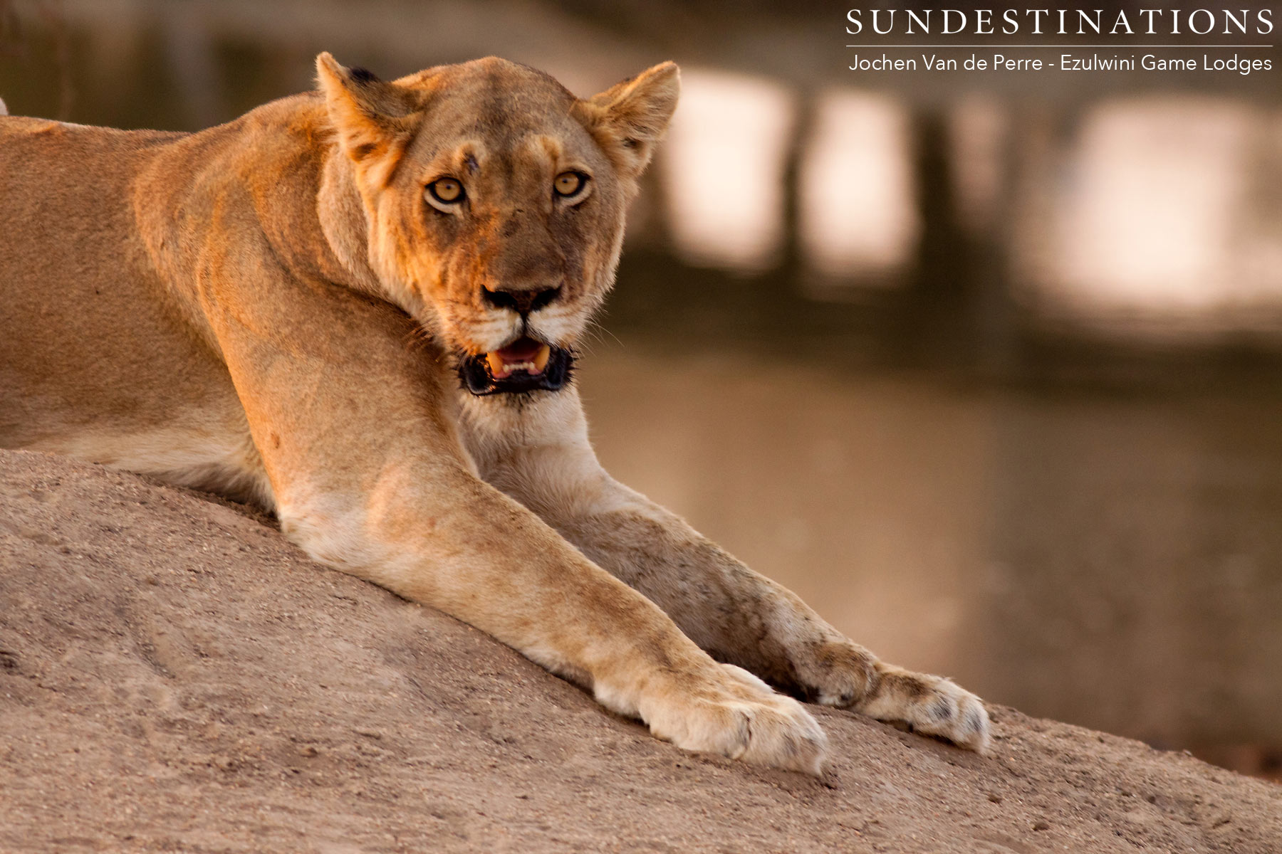 River Pride Lioness at Dam