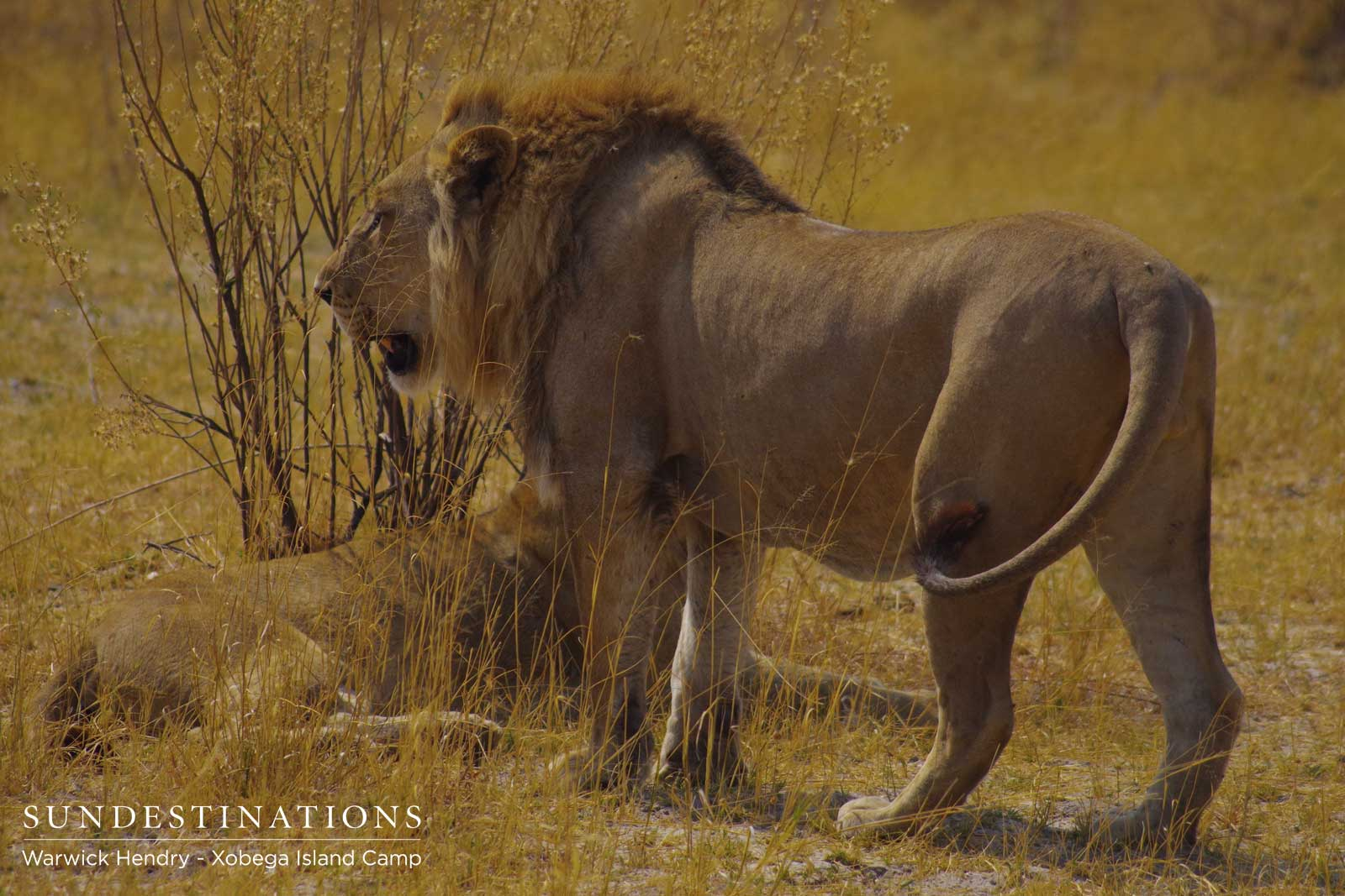 Male Lion in Moremi