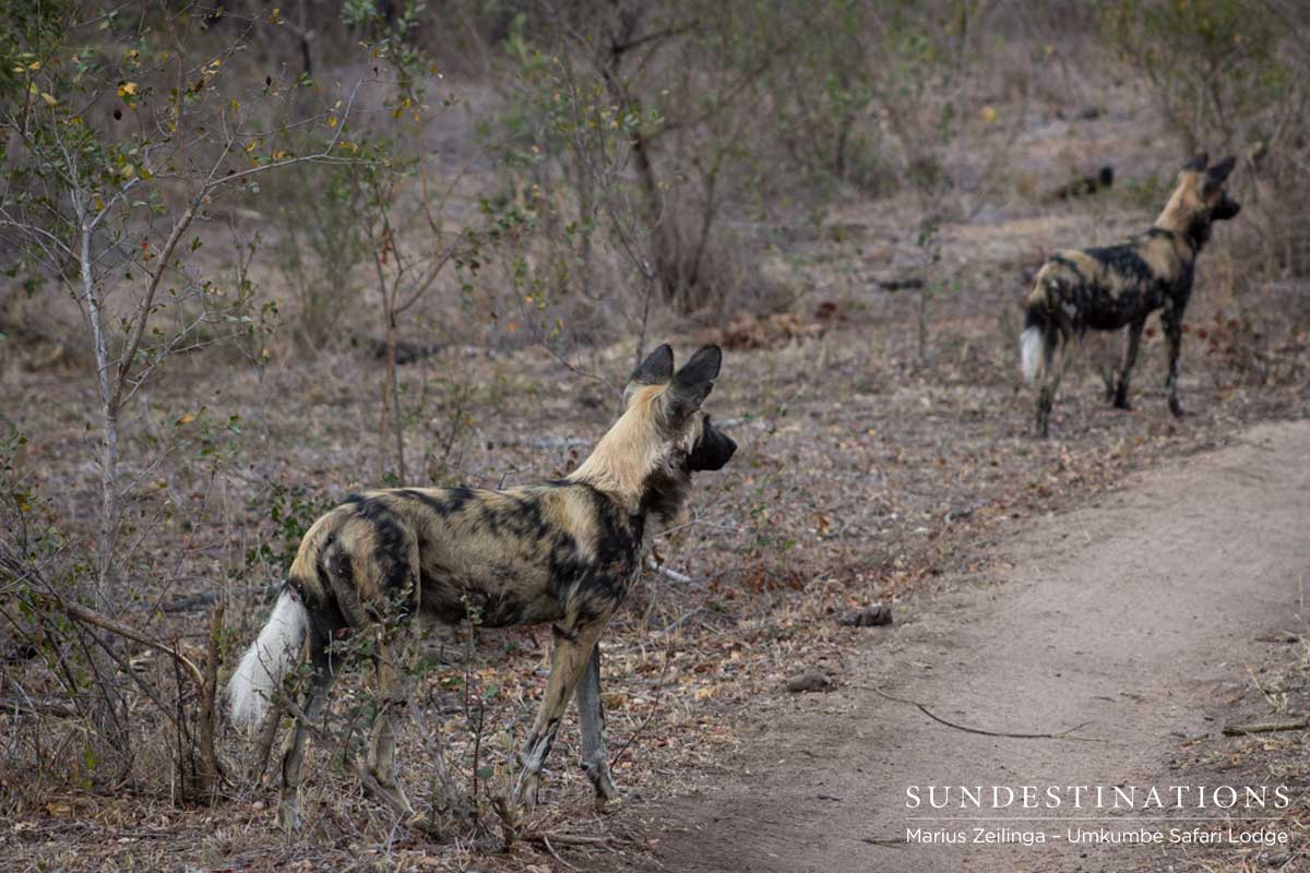 Toulon Pack of Wild Dogs with 10 Puppies