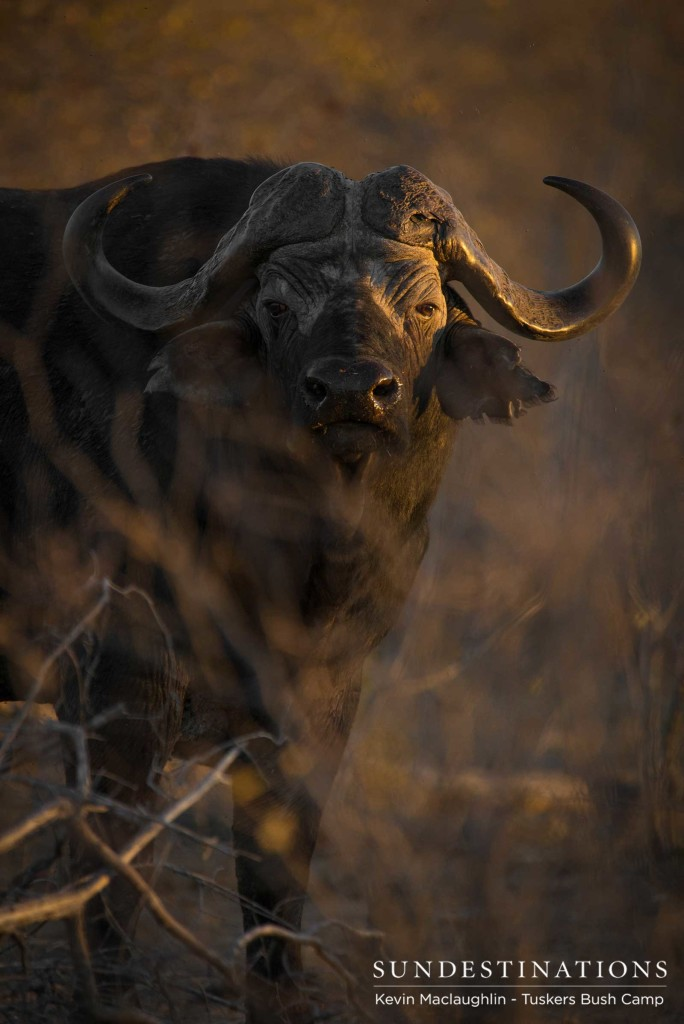 A warming glow from the sunrise blankets the rough exterior of a buffalo bull, peering suspiciously through the thicket