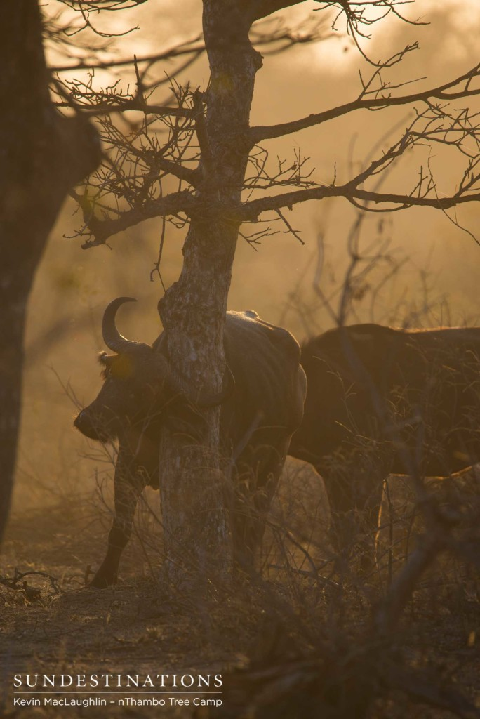 A buffalo finds an appropriate tree to relieve an itch, in the most picturesque time of day