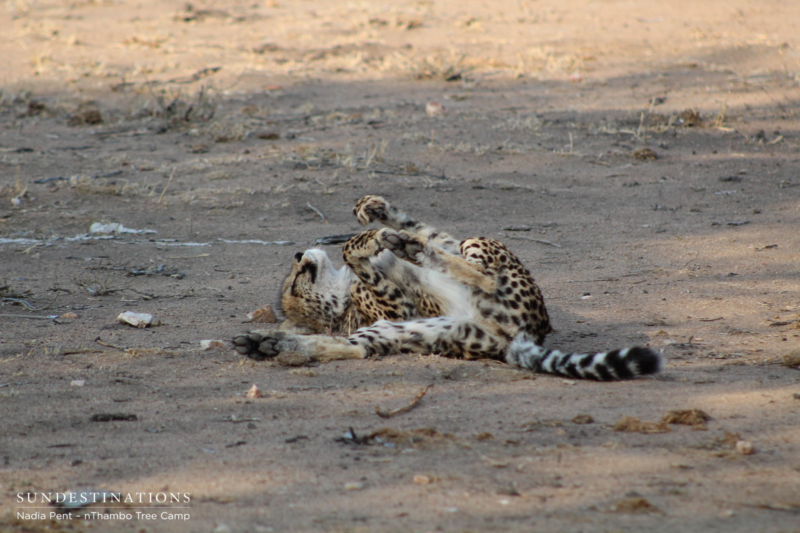 Cheetah Relaxing at nThambo