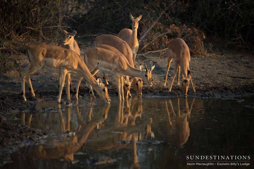 Impalas meet their reflections in the surface of the water, making for a striking photographic opportunity