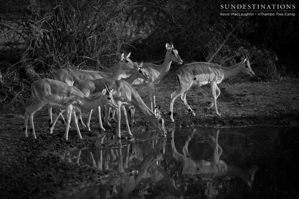 South Africa's most successful antelope, the impala, nervously approaches a waterhole to drink. Constant vigilance is what will keep them alive in this wild world