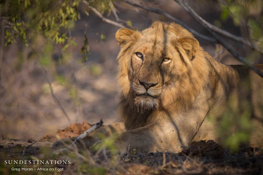 The stern beauty of the young Mapoza male lion keeping an eye on his adoring fans