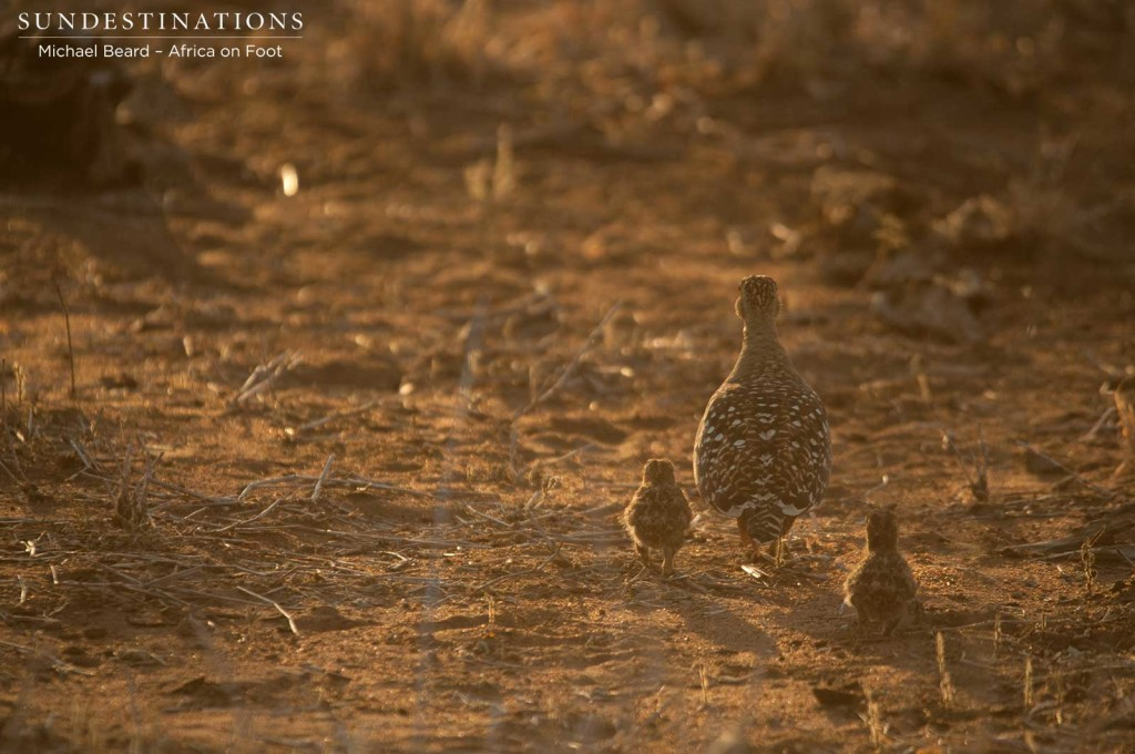 A family of double-banded sandgrouse making their way to safety as the light begins to fade in the Klaserie