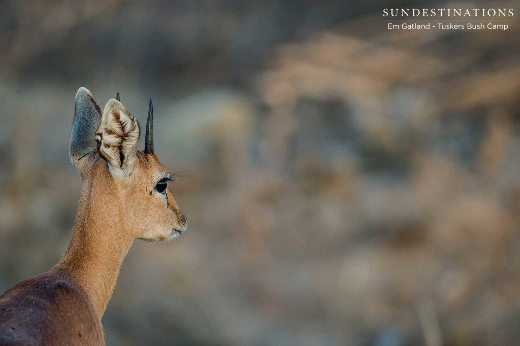 The tentative profile of a steenbok out in the unpredictable wild