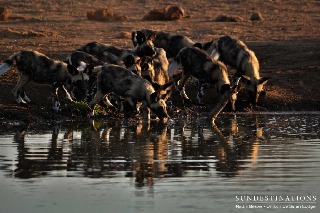 The Toulon Pack pups rehydrate at a waterhole after preying on a bushbuck nearby
