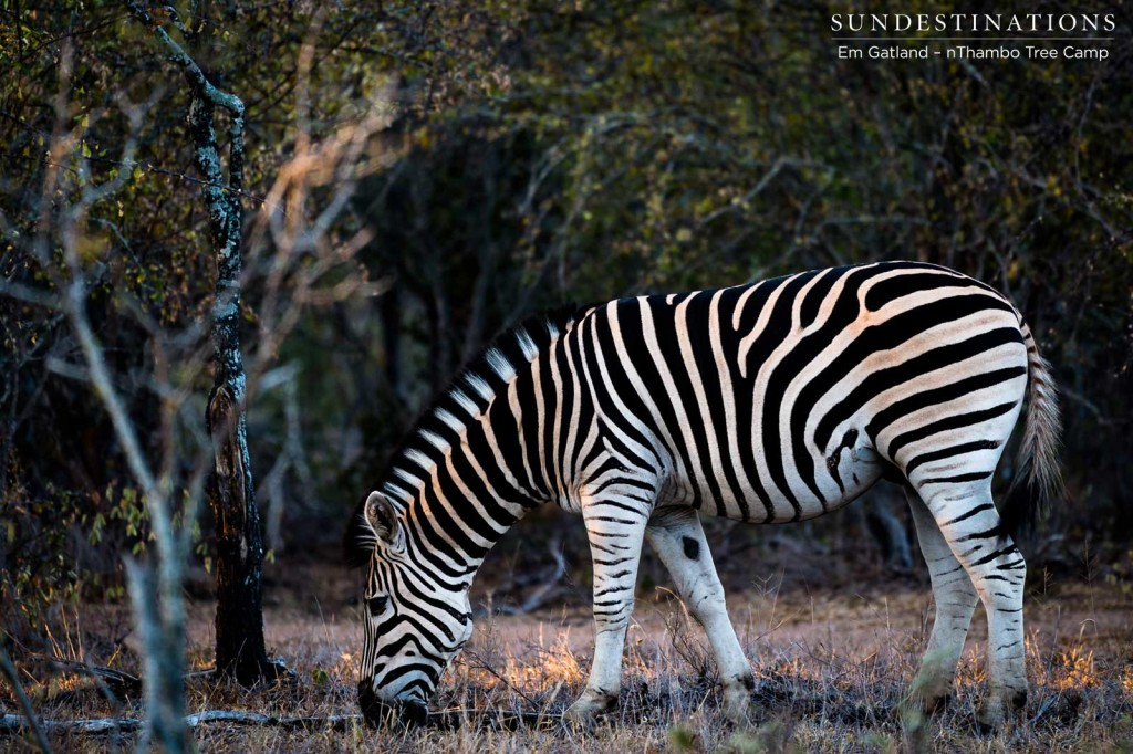 The mesmerising stripe pattern of the zebra stands out from the crowd, but in a herd, these stripes act to dazzle any potential predator and throw them off their game