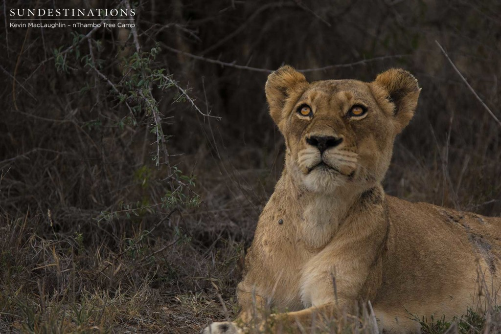 Ross Breakaway lioness