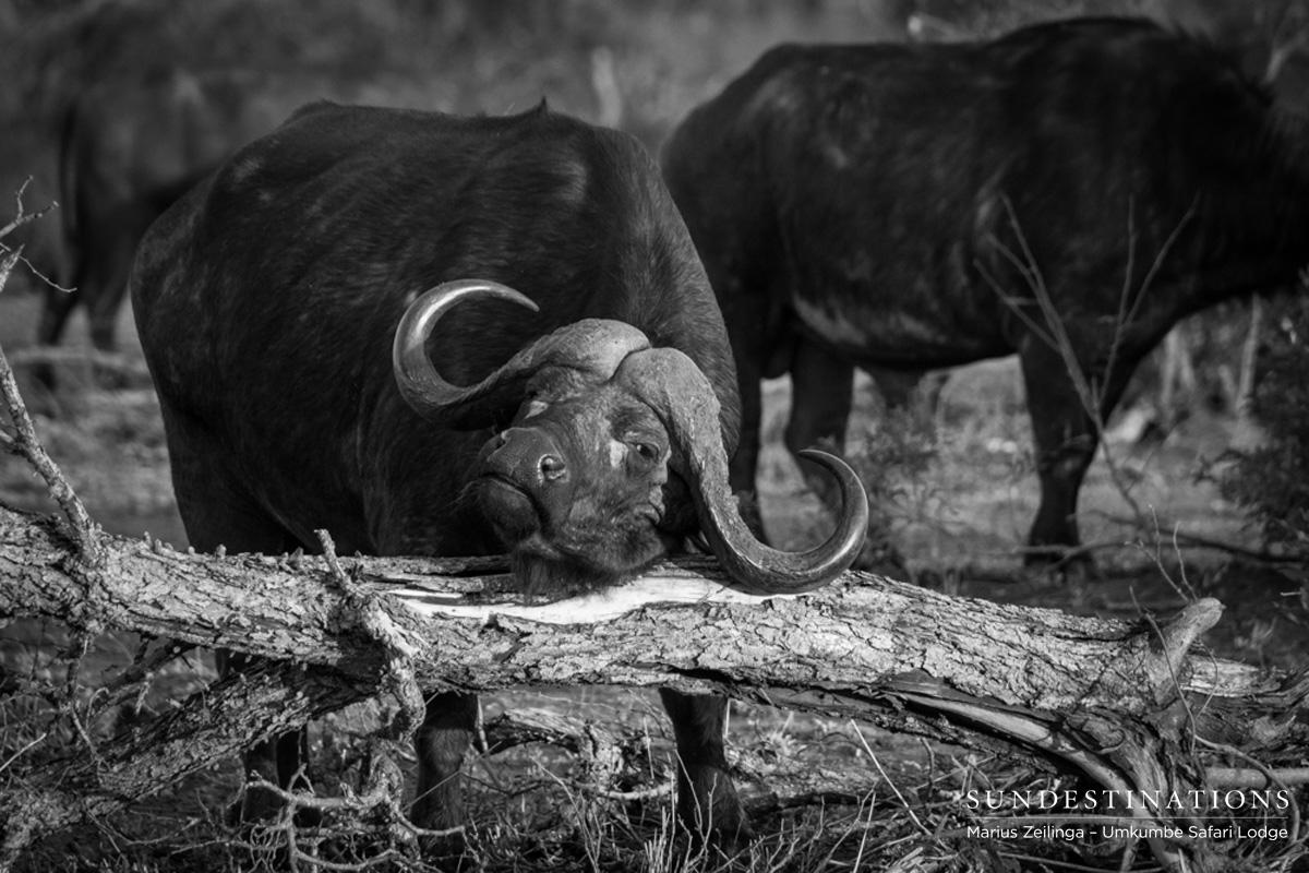 Buffalo and Hippo Share Waterhole at Umkumbe
