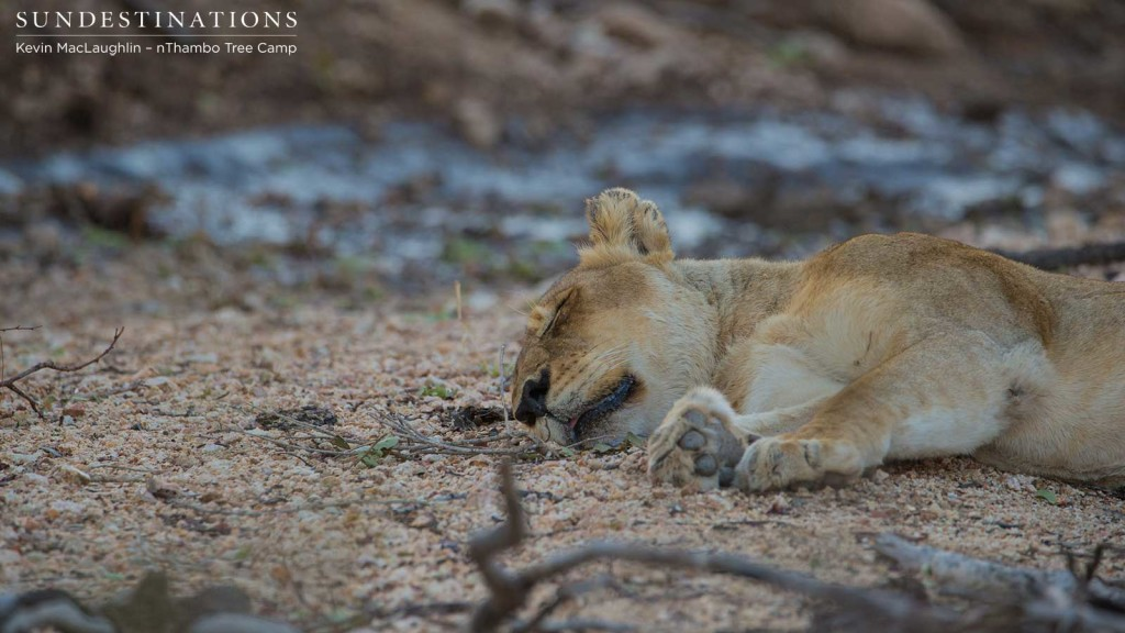 The Breakaway lioness as seen by Kevin, lying quietly after showing signs of sickness