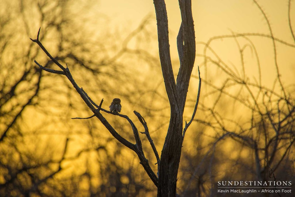 An image of an African wonderland; a combination between a scorching Kruger sunset, and the romance of a bare winter forest - the place this pearl-spotted owlet calls home