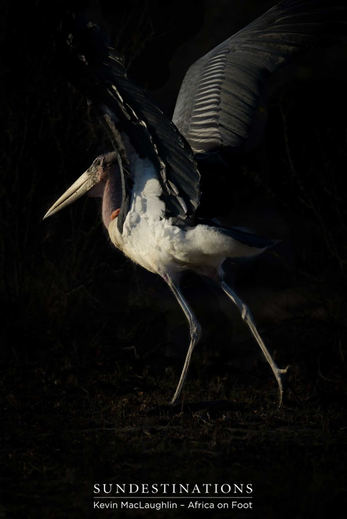A moment of beauty and elegance with one of the bushveld's most poorly reputed birds. The marabou stork is one of nature's less glamorous species, making this capture one in a million