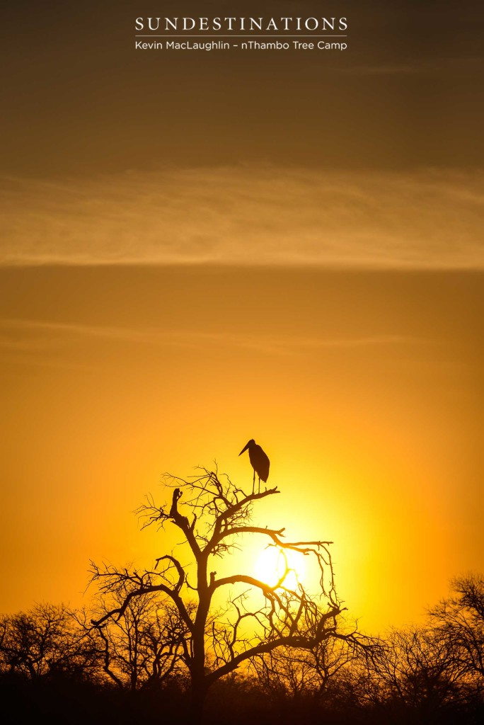 One of nature's 'Ugly 5' - the marabou stork - is illuminated in golden light and given a flattering glow atop its perch in the Klaserie