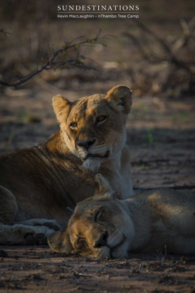 Both Breakaway lionesses seen relaxing together after a few days apart