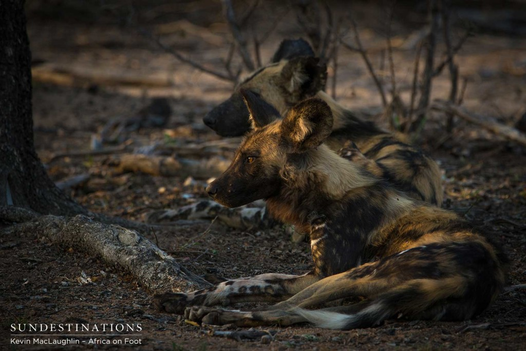 A young African wild dog bathing in the morning's first light