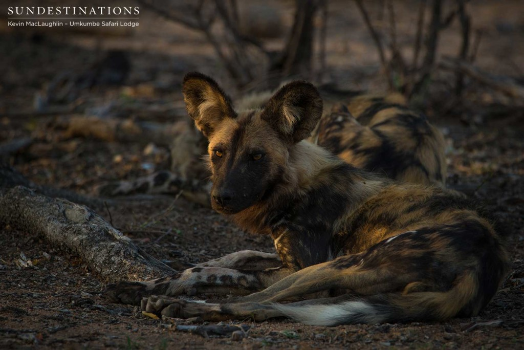 A look of caution betrays this wild dog's otherwise relaxed demeanour. There is no room for complacency in the wild.
