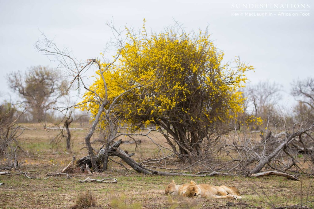 The Ross Breakaway lionesses rest under the outstanding blossom of the wild pomegranate tree