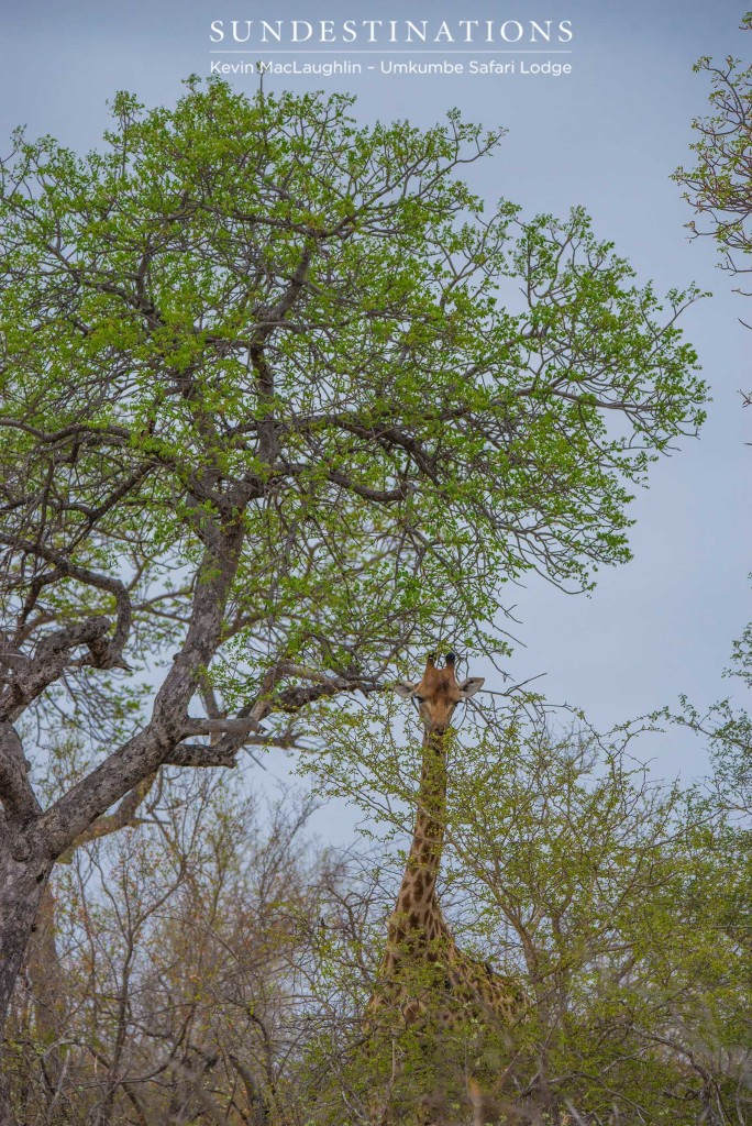 A giraffe is dwarfed by a tall marula tree, which is blooming into its vibrant summer colours