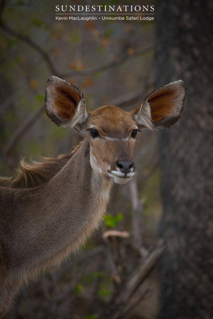 Those ears twitch to pick up seemingly inaudible sound in the secretive and wild bushveld.
