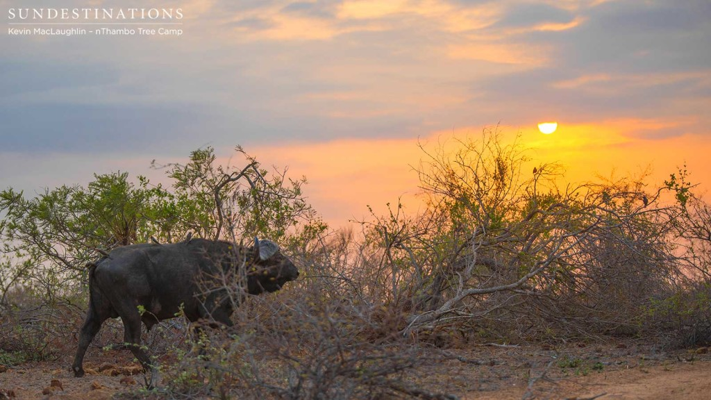 A buffalo bull paces slowly through the dusk under the golden glow of the sunset