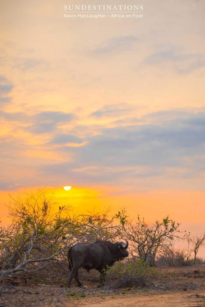 A buffalo bull's lonely journey into the sunset