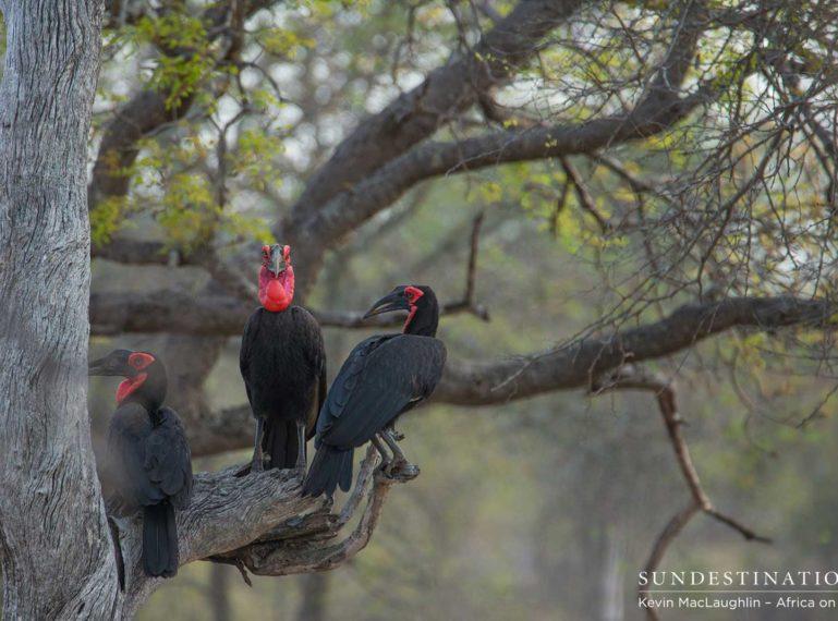 The Gorgeous Ground Hornbills of Klaserie