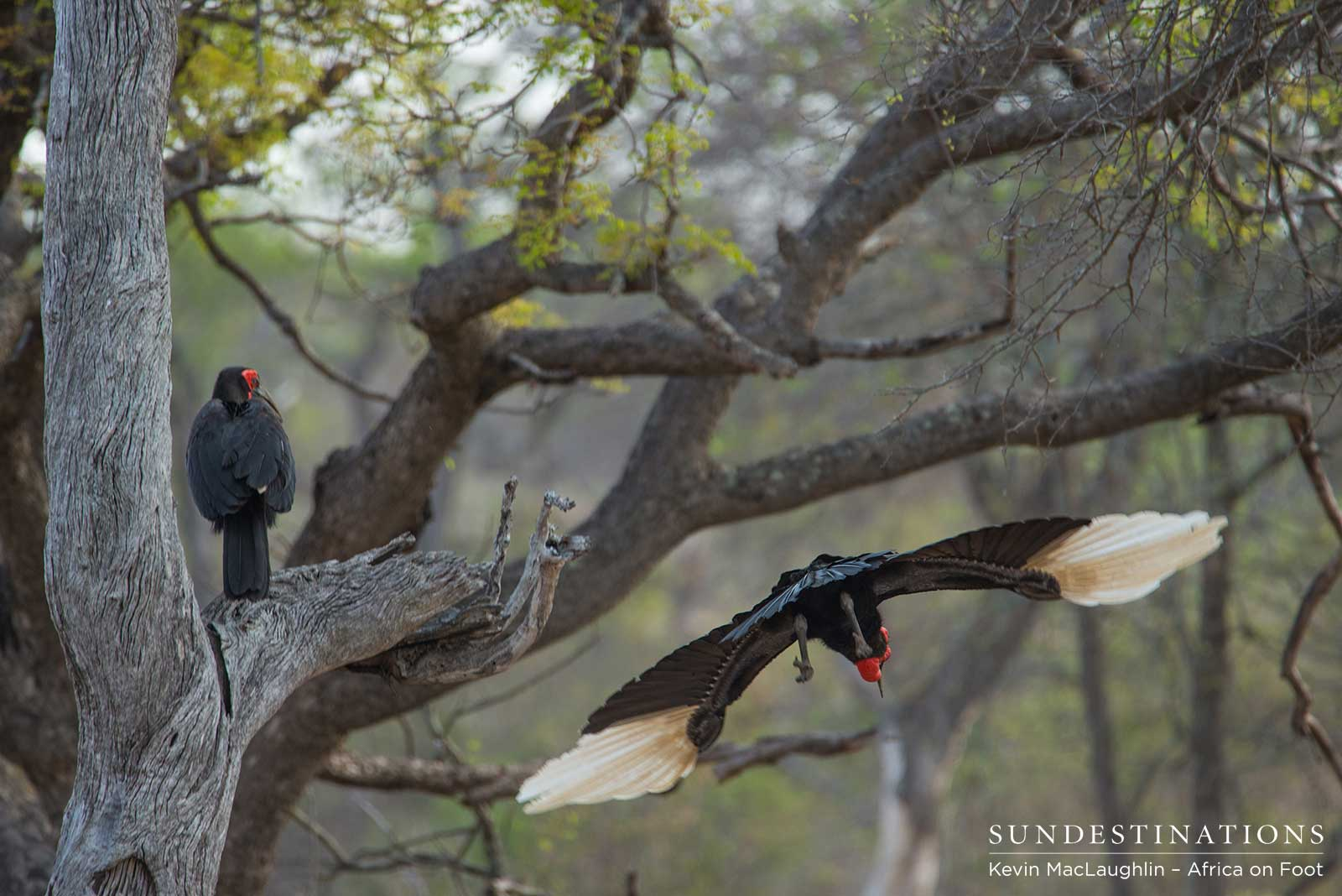 The Gorgeous Ground Hornbills of Klaserie