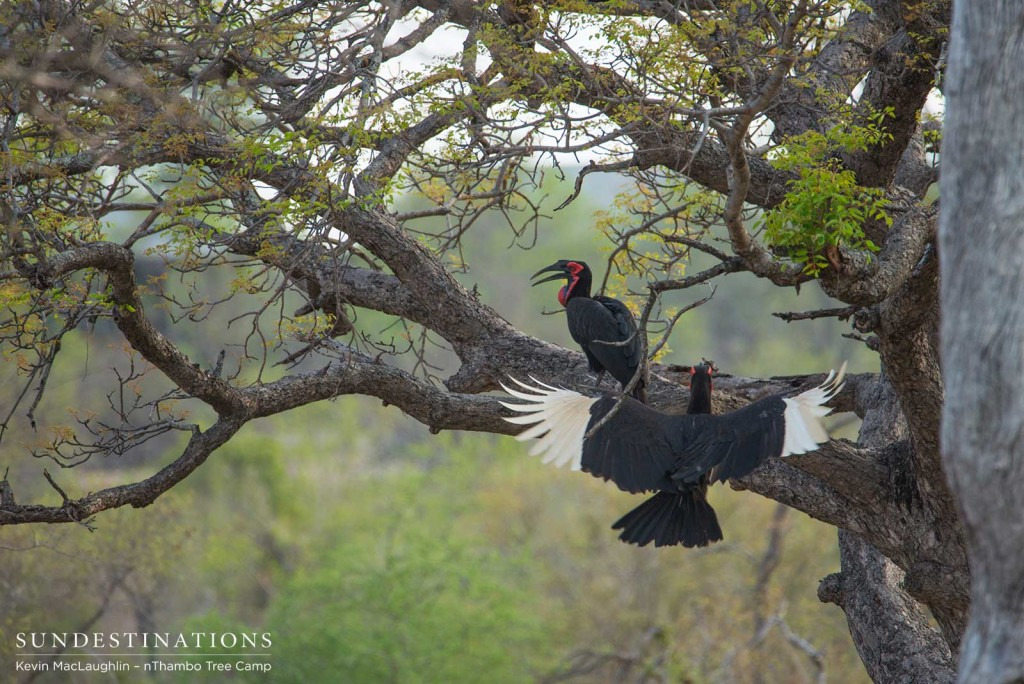 Southern ground hornbills take safety in a tree, displaying the rarely seen white plumage in their flight feathers