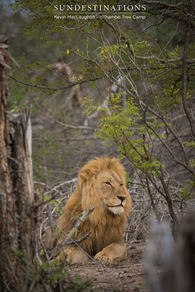 Mapoza males mating with Breakaway lionesses
