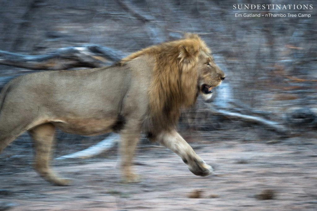 A Mapoza male lion picks up a trot as he follows one of the Breakaway lionesses through the bush.; a buffalo kill creating a tense environment among the lions