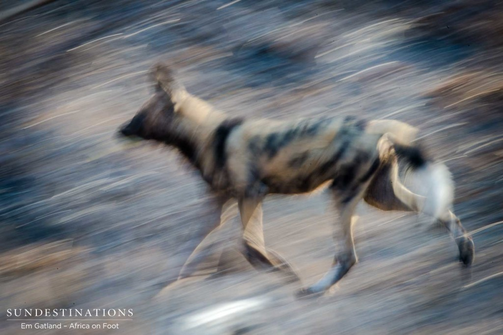 An African wild dog blends into the bush as the pack races to devour a fallen duiker