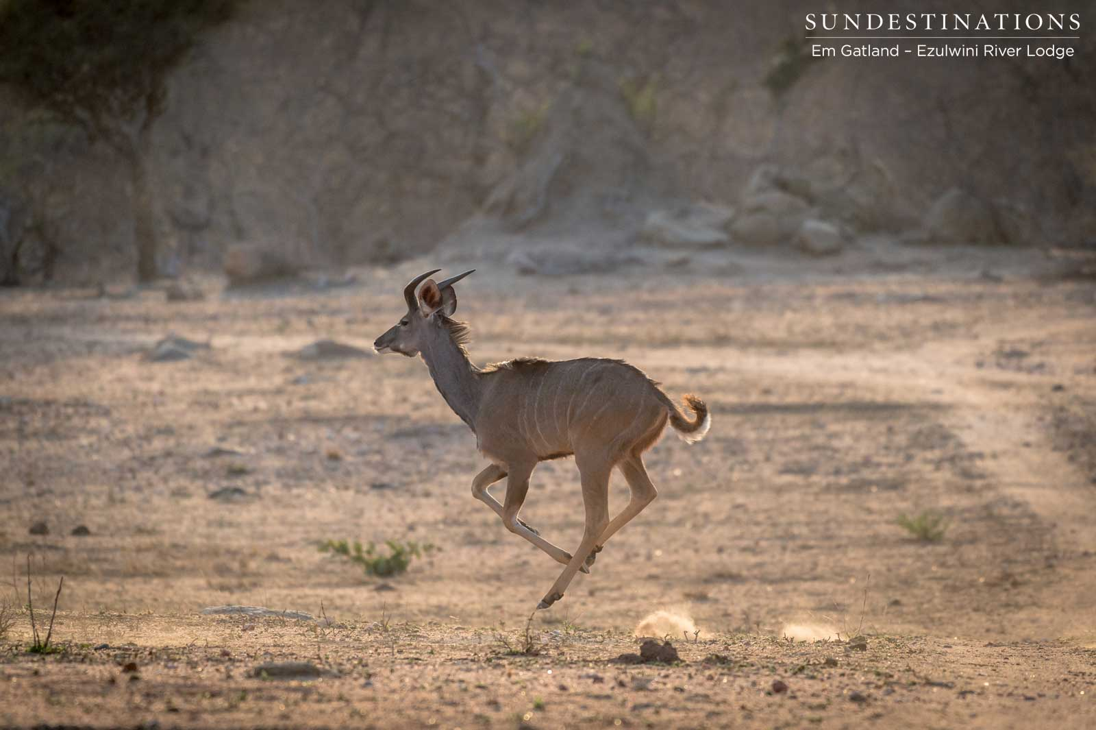 Celebrating the Graceful Antelope of Ezulwini Game Lodges