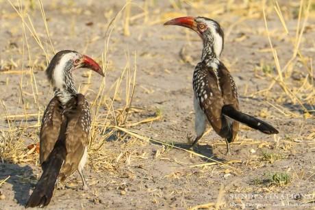 Hornbills Mating Tuskers