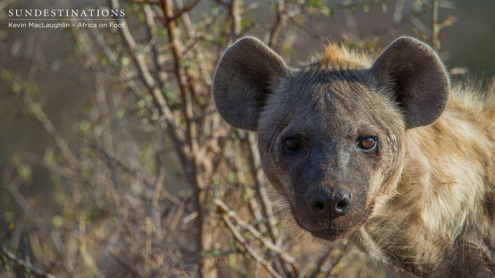 Hyena Cub Africa on Foot