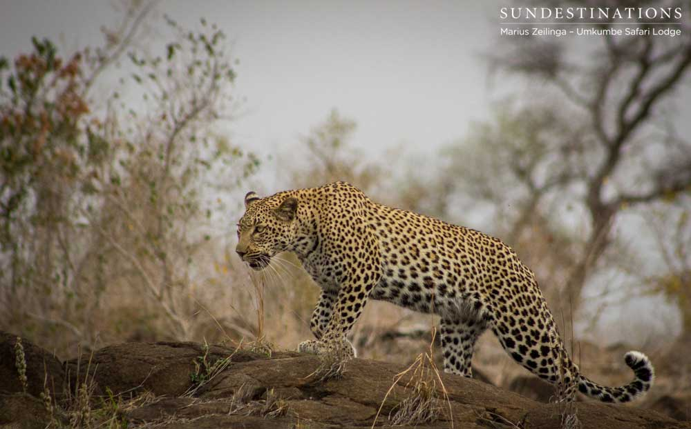 Kigelia's liquid movements over a rocky outcrop show the stealth and focus so typical in these magnificent cats