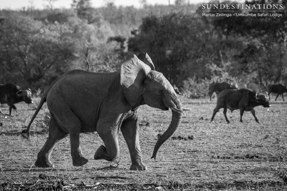 A young elephant makes haste across an open plain as he rushes to rejoin the herd, which mingles among a herd of buffalo